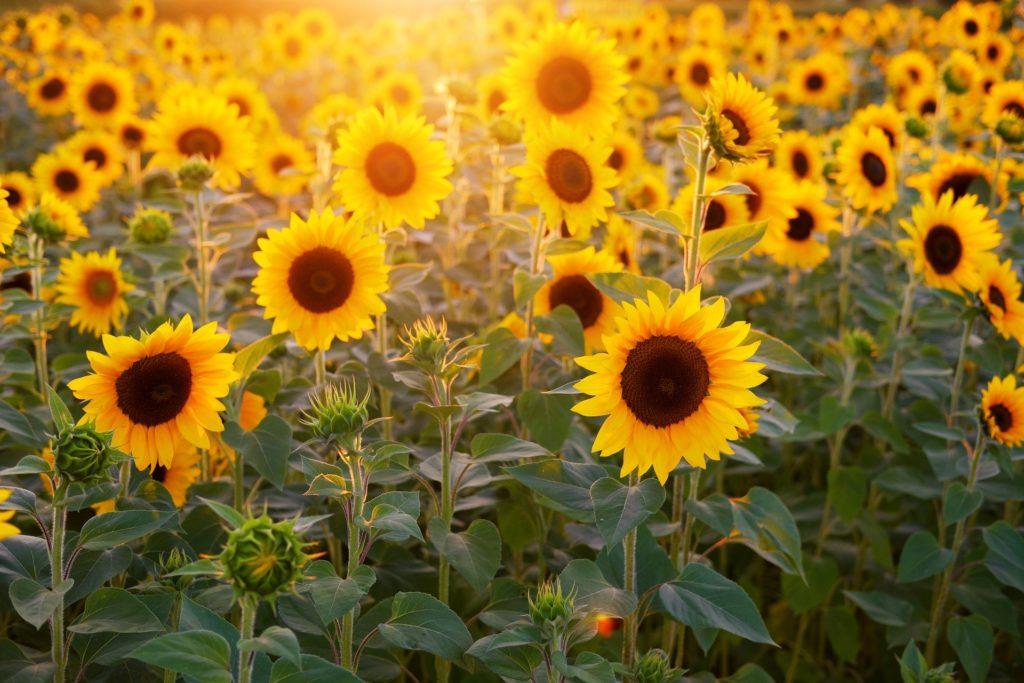 夏の花画像